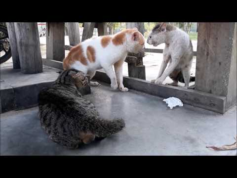 Cats Ridiculous Fight