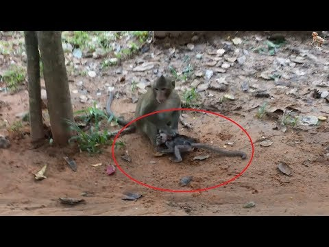 Crazy Monkey Hitting Baby Very Bad, Bay Cry and So Cry Daily Monkeys Man #632