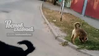 Собаки напали на мотоциклиста 2.10.2018 Ростов-на-Дону Главный