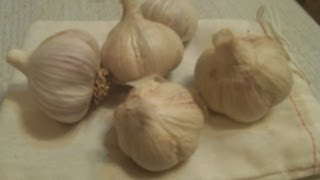 Planting Fall Garlic And Shallot Harvest  The Wisconsin Vegetable Gardener Extra 68