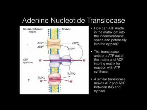 The Adenine Nucleotide Transporter
