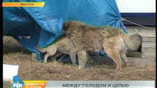 Собаки умирают от голода, сидя на цепи, в одном из микрорайонов Иркутска