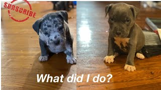 WAS THIS A MISTAKE? ( BLUE MERLE) AMERICAN BULLY