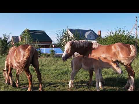 Лошади тяжеловозы #красивыелошади