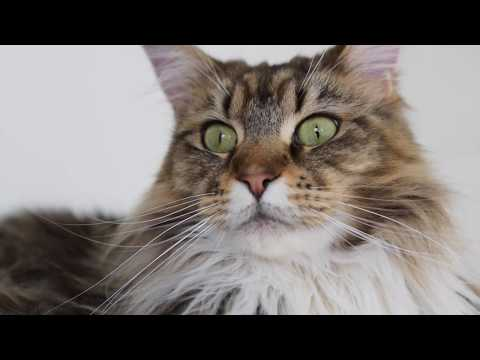 How Much We Paid for Our Maine Coon Molly