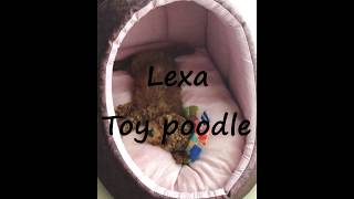 Yavru Toy Poodle Eğitimi | Puppy Toy Poodle Training