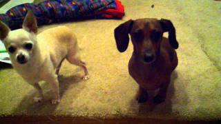Weenie  Dachshund Back Injury Prevention For Going Down Stairs!!