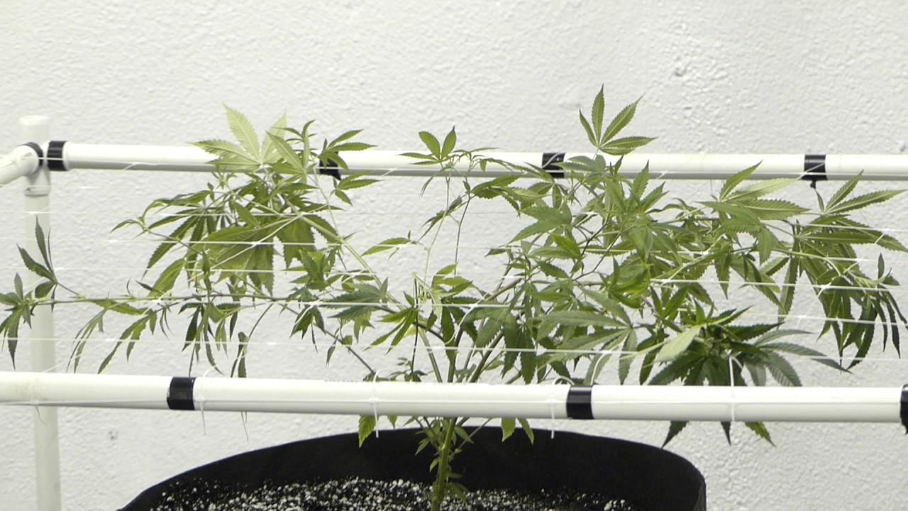12 Plant 12 Light Scrog Grow After 1st Trellis Setup