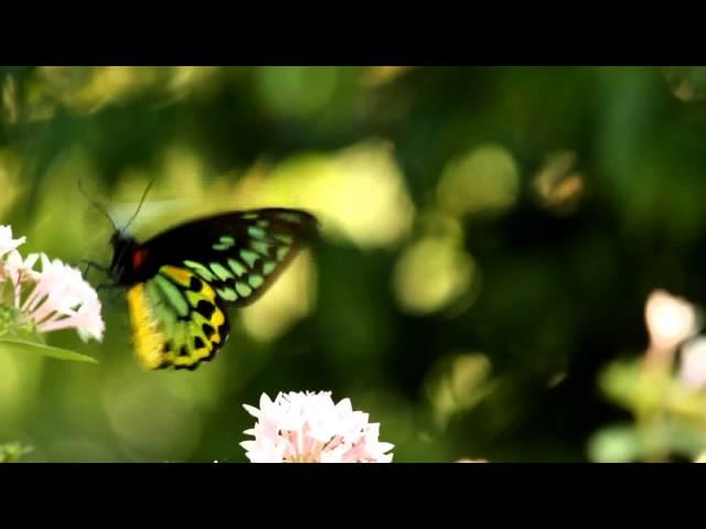 Cairns Birdwing Butterfly (Ornithoptera euphorion)