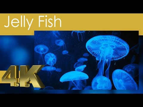 4K Jellyfish And Sea Jellies With Relaxing Ocean Music