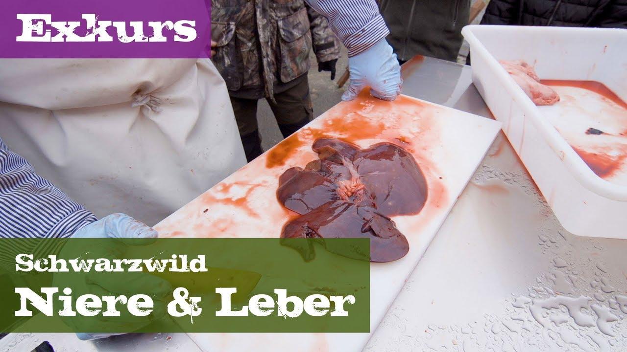 Niere und Leber - Exkurs Organe - Schwarzwild - YouTube