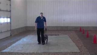 Blue American Pit Bull Terrier Rain - Boot Camp Dog Training Graduate