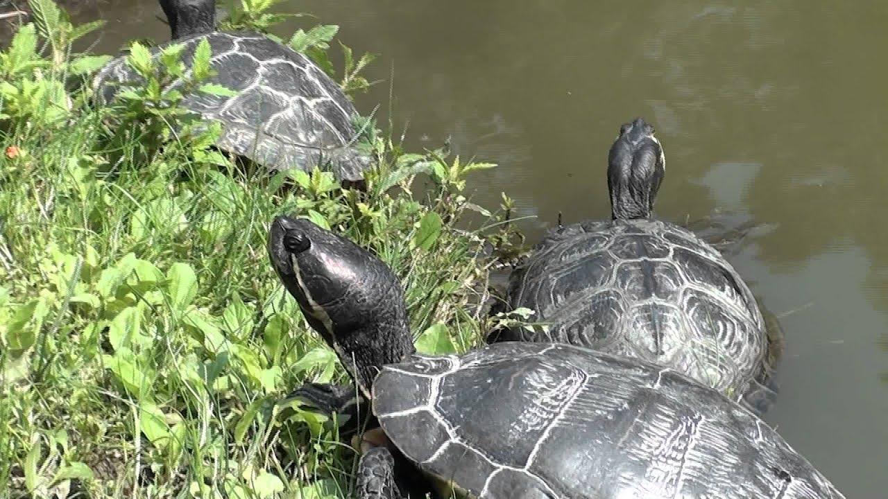 tartarughe d 39 acqua youtube