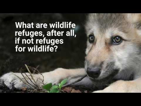 Wolves and Bears: Apex Predators at Risk