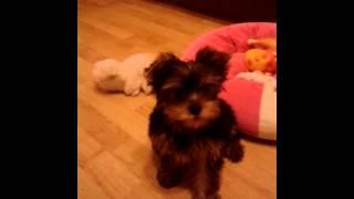 Yorkshire Terrier Dorka Kutya 3 Hónapos