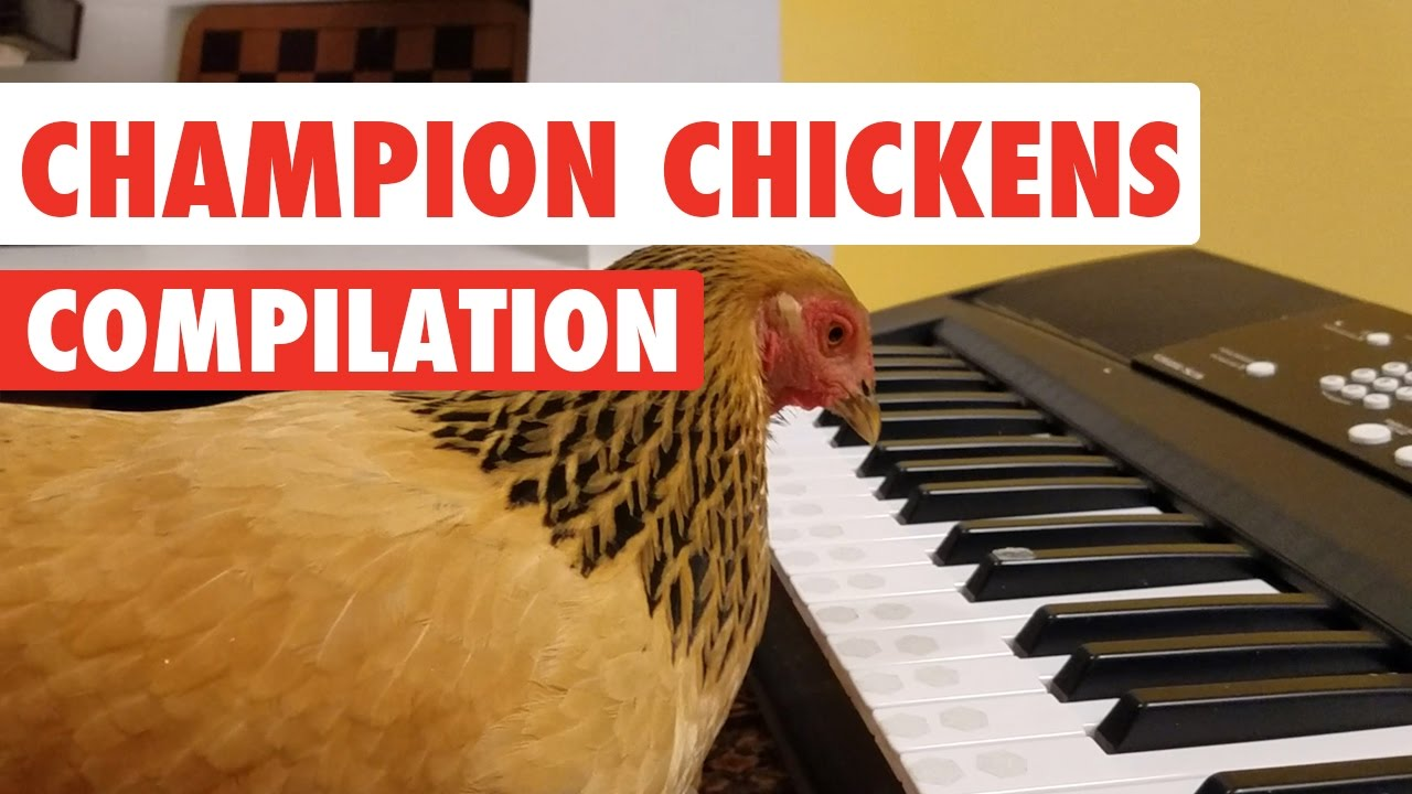 Superior Chickens | Humorous Pet Video Compilation 2017