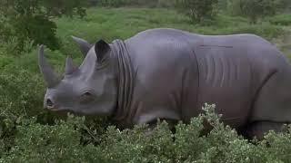 Эйс Вентура-сцена с носорогом.