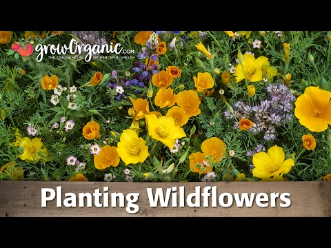 How to Plant and Grow Organic Wild Flowers