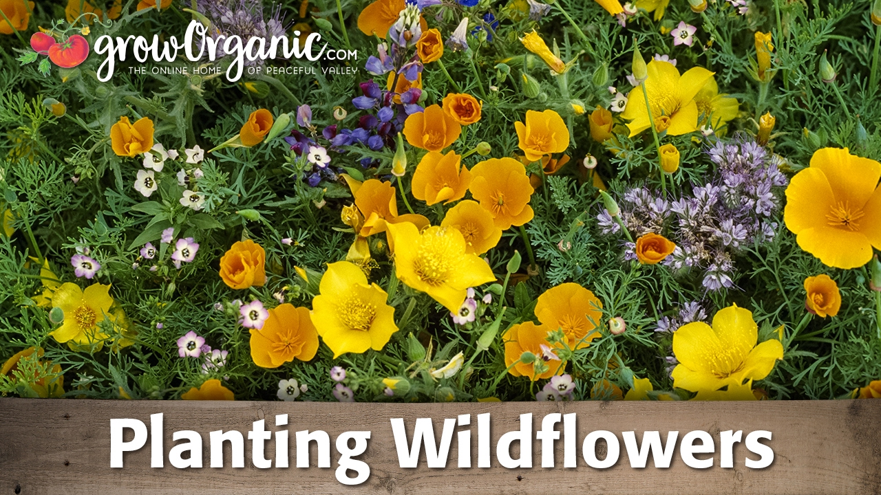 How To Plant And Grow Organic Wild Flowers Youtube