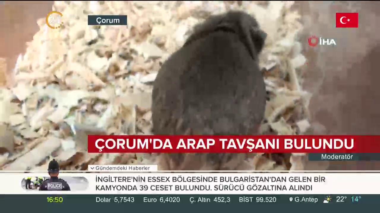 Çorum'da Arap tavşanı bulundu