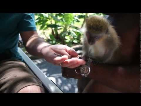 Close up of Barbados Wild life Monkeys