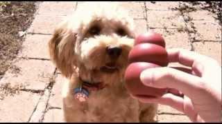 Spoodle Puppy - Millie's Gold Coast Mini-break