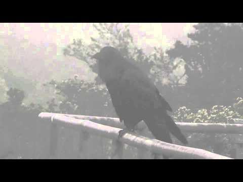 Common Raven in the Fog