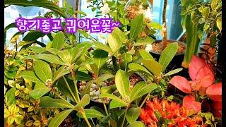 공기정화식물 스키미아 황산계수나무 키우기