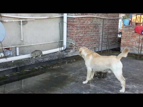 Dog barking at a cat