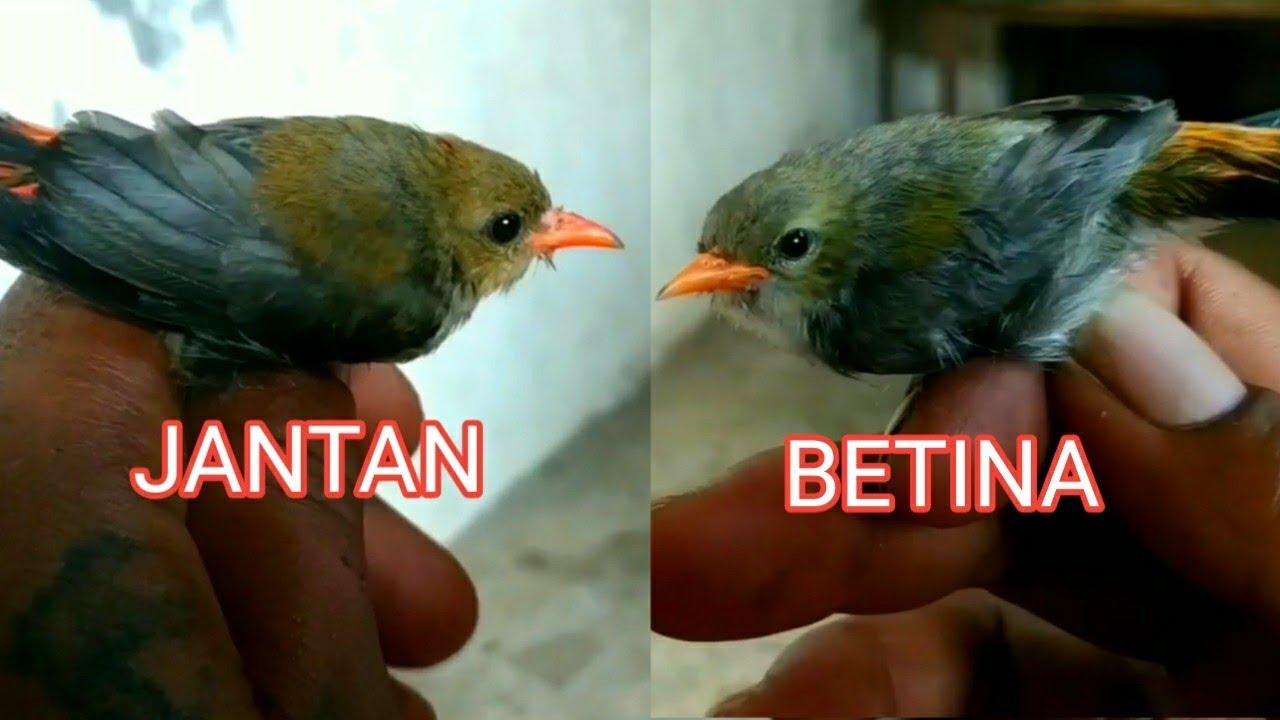 Download Ciri ciri jantan dan betina burung kemade/cabe cabean yang masih anakan