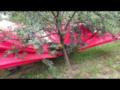 Berba sljive u Srbiji / Harvesting plums in Serbia