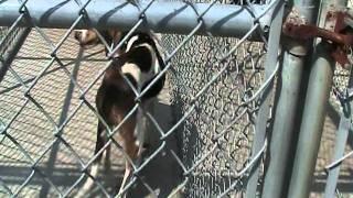 German Shepherd, Wiener Dogs, Walker Coonhound, Puppies At Jackson Tn Rabies Control