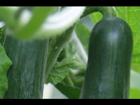 Hobi Bahçecilik - Hıyar Fidesi Dikimi Ve Tohum Ekimi