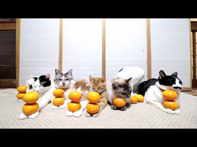 みかんを乗せた8匹の猫 190103