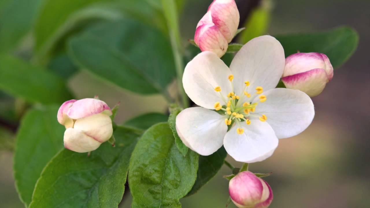 Resultado de imagen para manzano silvestre