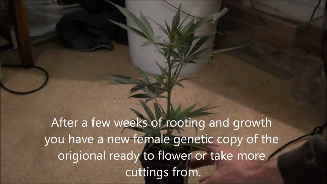 How to Grow Marijuana Vol.II (vegging sexing and cloning)