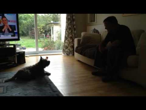Cairn terrier dog talking