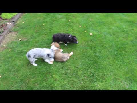 Corgipoo Puppies For Sale