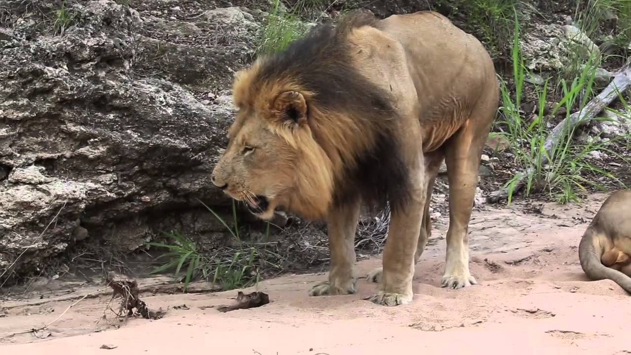 lion throwing up (original version) - youtube