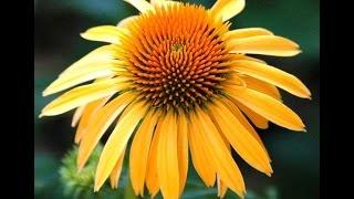 Best Perennials, Echinacea Harvest Moon (Coneflower)
