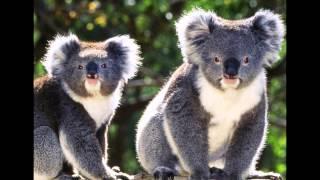 Животные  Австралии(Конечно же, здесь далеко не все животные этого богатейшего на уникальные создания континента. 90%..., 2015-04-12T21:36:05.000Z)