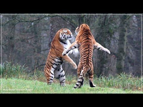 Harimau vs Harimau Pertarungan sampai mati - Singa merawat bayi harimau