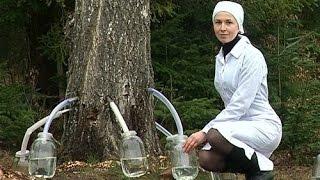 видео Как и когда собирать березовый сок