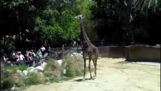 A giraffe at the Los Angeles zoo