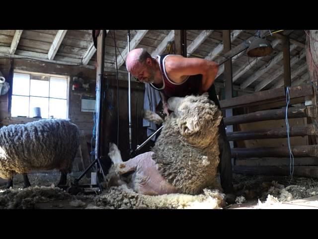 Shearing Rams in Canada (vid 13)