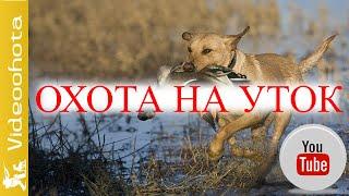 Охота на уток!МОЩНАЯ хватка-Videoohota