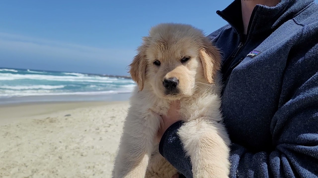 Golden Retriever puppy goes to the beach | Oshies World