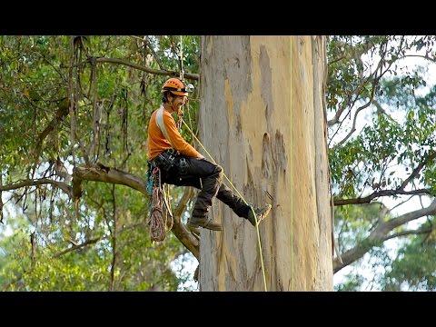 Climbing the giant karri trees of Western Australia