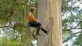 Climbing the giant karri trees of Western Australia