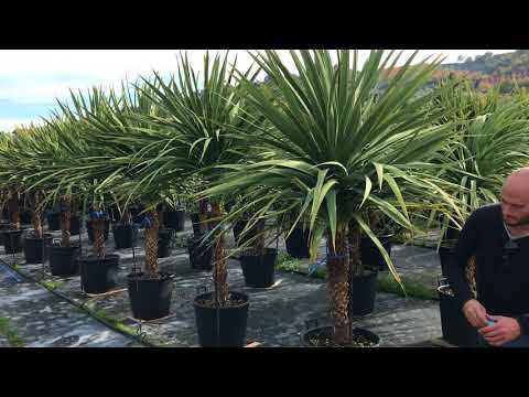 Big Plant Nursery Choosing Cordylines in Italy (2017) – Part 3
